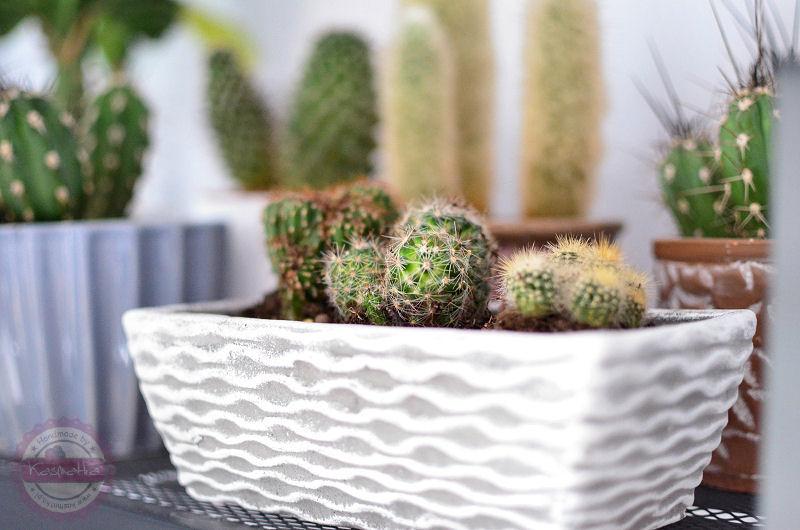 Królestwo Kaktusów Kasmatka